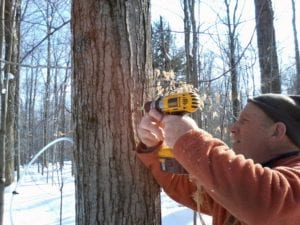 Picture of us drilling a maple tree
